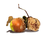 Rotten apple and pear isolated Royalty Free Stock Image
