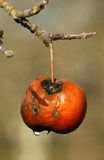 Rotten apple   after the rain on a branch Stock Image