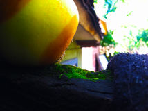 Rotten apple on a tree with a beautiful moss nearby. A beautiful picture of a rotten apple and moss royalty free stock photo