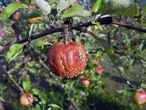 Rotten apple. On the apple tree, close up Royalty Free Stock Photos