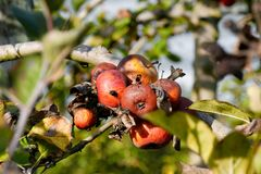 Rotten apple on tree in orchard Royalty Free Stock Photo