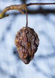Rotten apple on a tree. Rotten apple, still attached to a tree branch Stock Photos