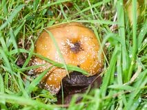 Rotten apple with white fungus and flies on grass floor fallen f royalty free stock images