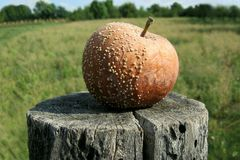 Rotten Apple. In the wood stump Stock Images