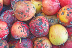 Rotten apples. royalty free stock photography