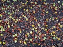 Rotten apples Background. Rotten apples with areas of mold on the ground stock photography
