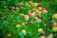 Rotten apples in the background of  grass Royalty Free Stock Images