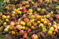 Rotten apples on a compost heap Royalty Free Stock Image