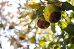 Rotten apples. Couple of rotten apples on the tree Royalty Free Stock Image