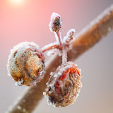 Rotten apples covered with frost Royalty Free Stock Image