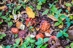 Rotten apples. Fallen on the ground in an orchard Stock Photo
