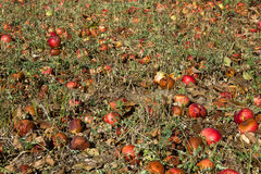 Rotten apples field Royalty Free Stock Images