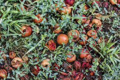 Rotten apples in the grass. Rotten apples in the green grass, fallen from the tree top view Royalty Free Stock Images