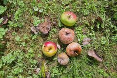 Rotten Apples on the ground Stock Photography