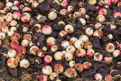 Rotten apples Royalty Free Stock Image
