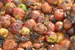 Rotten apples. Many apples rotting on the ground Royalty Free Stock Photos