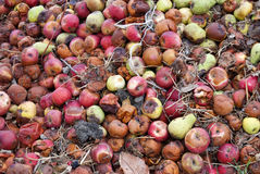 Rotten apples and pears Royalty Free Stock Image