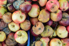 Rotten apples Royalty Free Stock Photo