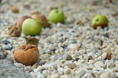 Rotten apples are on the rocks Royalty Free Stock Images