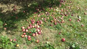 Rotten apples. Saw a bunch of rotten apples in the orchard, Mississauga, Canada Royalty Free Stock Images