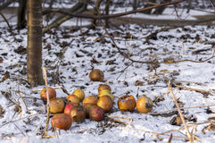 Rotten apples on snow. In sunny day royalty free stock photos
