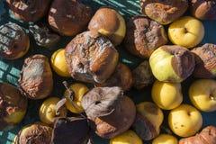 Rotten Apples Stock Image