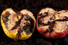 Rotten apples with worms Royalty Free Stock Photo