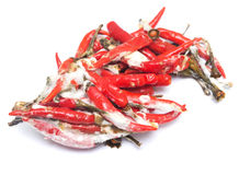 Rotten chili pepper Royalty Free Stock Images