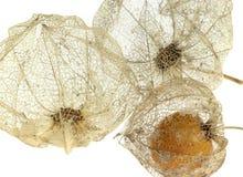 Rotten chinese lantern detail Stock Image