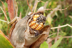 Rotten corn cob. Closeup of rotting corn cob due to fungus infection on field of subsistence farmer in Africa Stock Photo