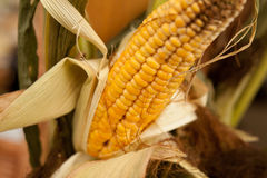 Free Rotten Corn Cob Royalty Free Stock Image - 43867246