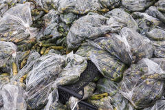 Rotten cucumbers in plastic sacks on the landfill Royalty Free Stock Photos