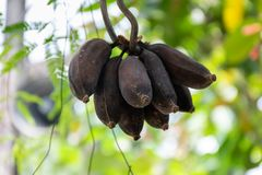Rotten cultivated banana turn black. Photo of rotten cultivated banana turn black royalty free stock images