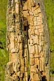 Rotten and decomposed oak wood Royalty Free Stock Photo