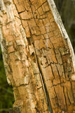 Rotten and decomposed oak wood Stock Images
