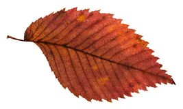 Rotten dried red leaf of elm tree isolated. On white background Royalty Free Stock Photos