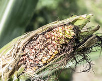 Rotten Ear of Corn royalty free stock images