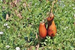 Rotten eggplants on the vine Royalty Free Stock Photos