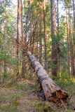 Rotten fallen tree in the forest Stock Photography