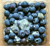 Rotten Food : Mouldy Blueberry Fruit Royalty Free Stock Photos
