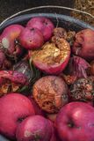 Rotten and fresh ripe wild red apples royalty free stock image