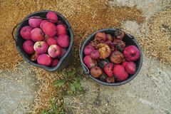 Rotten and fresh ripe wild red apples royalty free stock photos