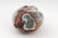 Rotten Fruit. Photo of a rotten peach. Fungus is easily visible on the surface Stock Photos