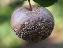 Rotten fruit apple Stock Images