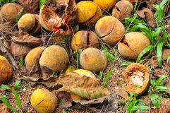 Rotten fruit. Rotten santol fruits in Thailand , Asia royalty free stock photos