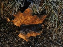 Rotten leaf on a forest ground. Furled rotten leaf  full of rime Royalty Free Stock Photo