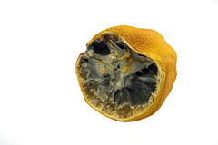 Rotten lemon. A lemon going moldy and rotten royalty free stock photo