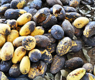 Rotten mango. Rotten fruit from insects and diseases of plants Stock Photo