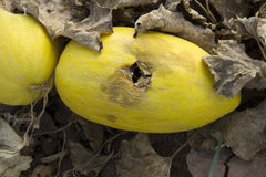 Rotten melon. Rotten and decayed yellow melon in farm Stock Images