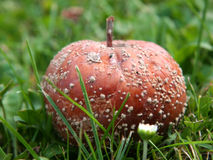 Rotten Moldy Apple in Grass Royalty Free Stock Images